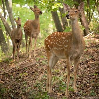 Alert deer on a slope in the woods