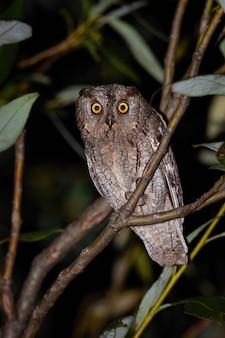 夜にカメラを見ているコノハズクに警告