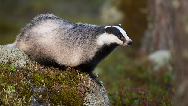 Alert european badger stretching and looking aside in summer nature