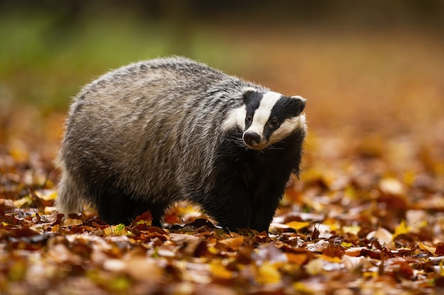 Alert european badger with small head and big fluffy fur walking in the forest