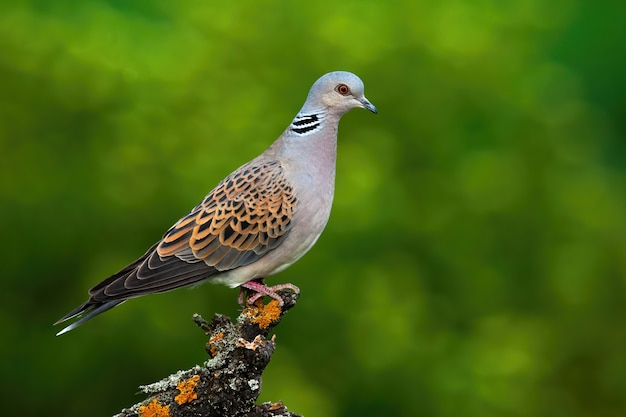 Alert european turtle dove standing on branch and stretching neck in forest