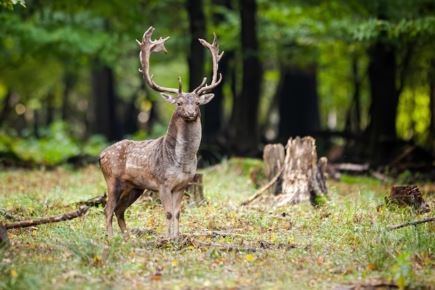 Бдительный олень, стоящий на поляне с пнем в летнем лесу