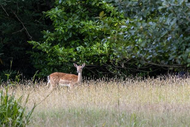 이스트 그린스테드의 삼림 지대에 있는 휴경 사슴(dama dama) 경고