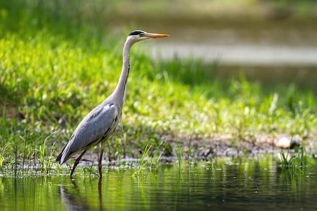 Оповещение серая цапля стоит в реке с размытым зеленым фоном