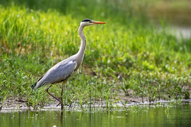 Alert grey heron walking in water on riverside with green grass in summer