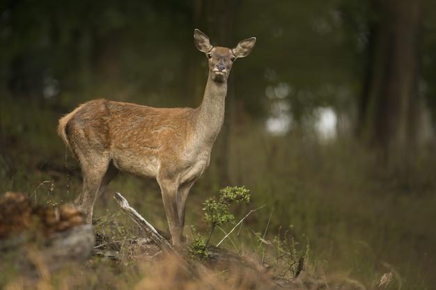 Оповещение о благородных оленях, наблюдающих за осенним лесом с размытым фоном
