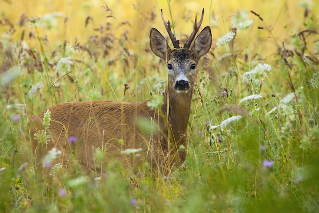 Alert roe deer back standing in tall grass with wildflowers in summer.