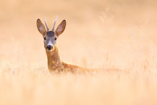Бдительный самец косули прячется на зерновом поле и смотрит в камеру летом