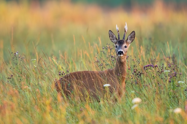 Alert roe deer buck standing in tall grass on a meadow in summer nature