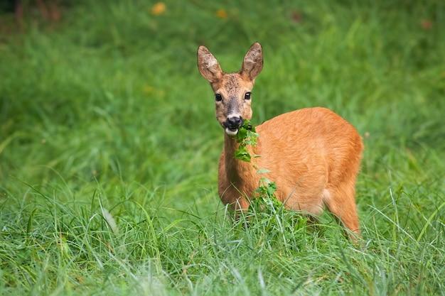 Alert roe deer doe grazing on meadow with green leafs in mouth.