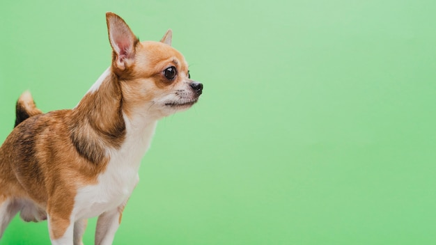Alerted dog on green copy space background