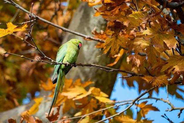 Alexandrine parakeet or psittacula eupatria perch on tree branch