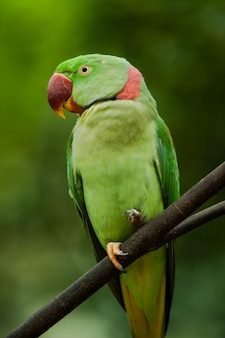 タイのalexandrine parakeet(psittacula eupatria)