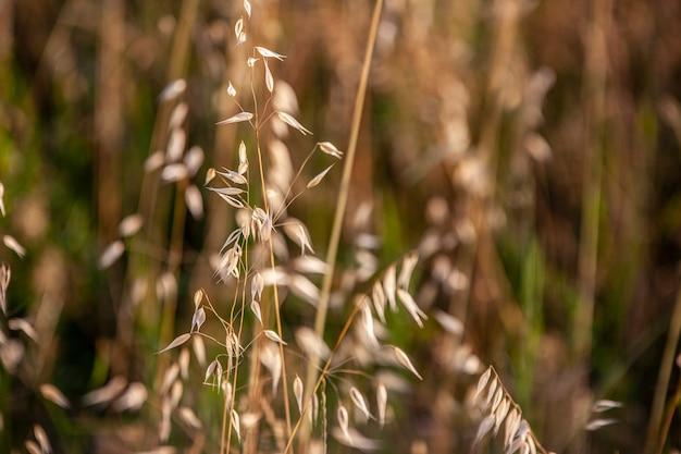 일몰 시간에 찍은 알팔파 밭 재배 세부 사항