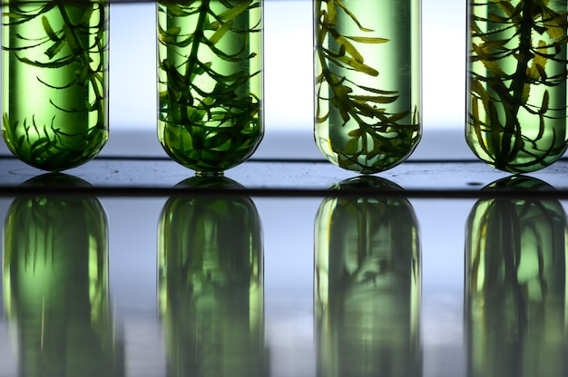 Algae biofuel tube in biotech laboratory