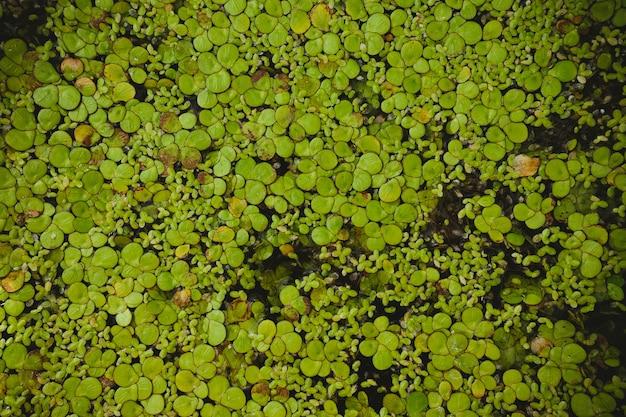Algae flower smallest plant in the world