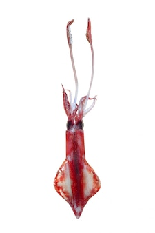 Alive squid seafood isolated