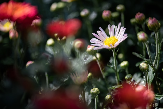 All kinds of chrysanthemums are in the park;