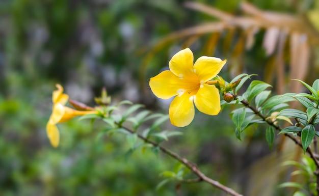 알라만다 카타르티카 또는 일반 트럼펫은 복사 공간이 있는 식물원 안에 노란색 꽃이 활짝 피었습니다.
