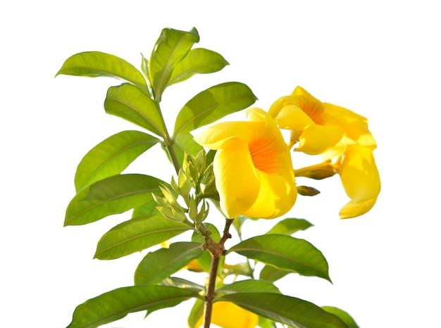 Allamanda 또는 황금 트럼펫, 아름다운 노란색 꽃