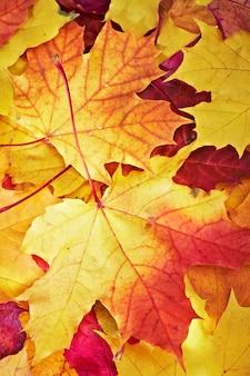 アレンメープルマルチカラーの葉...
