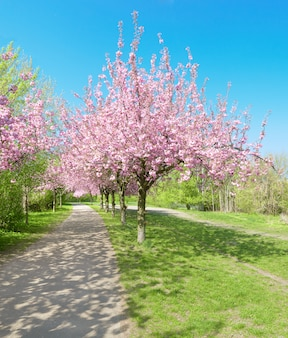 Alley of blossoming cherry trees called