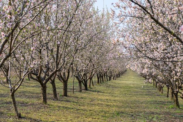 春にピンクの花が咲くアーモンドの木の路地