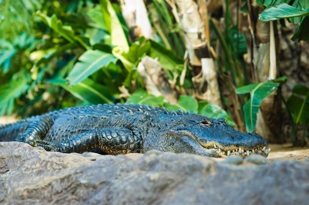 アリゲーター。大きな口と歯のクローズアップ。テネリフェ島のカナリア諸島。