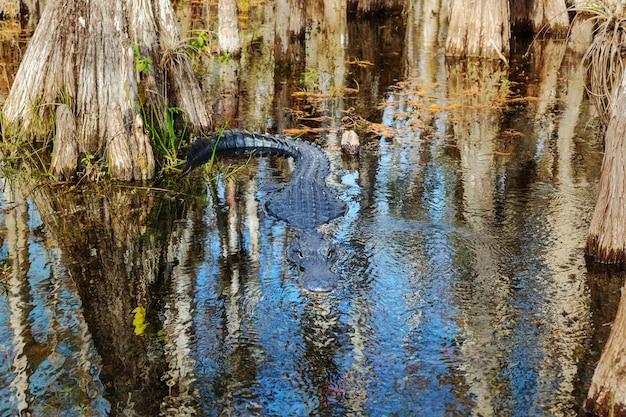 Аллигатор во флориде