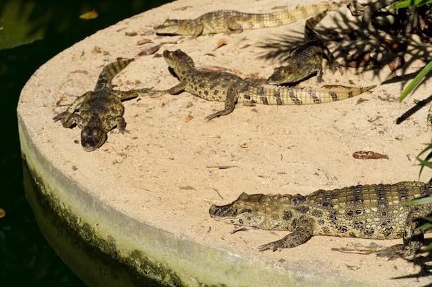 Alligator  jacare do papo amarelo  in the park in rio de janeiro, brazil.