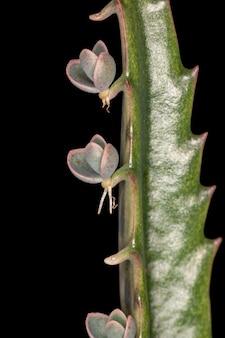 Аллигатор растение вида kalanchoe daigremontiana
