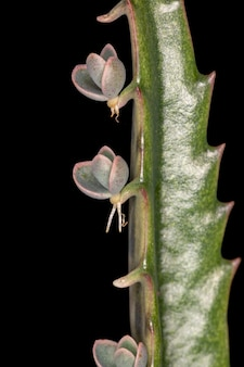 Alligator plant of the species kalanchoe daigremontiana