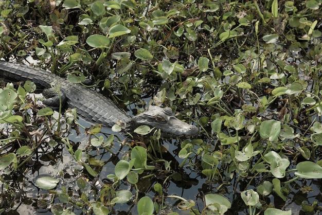 Аллигатор погружается в бразильские водно-болотные угодья, известные как пантанал