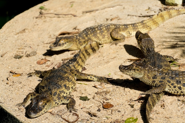 Alligator puppies (jacarãƒâƒã'â© do papo amarelo) in the park of rio de janeiro, brazil.