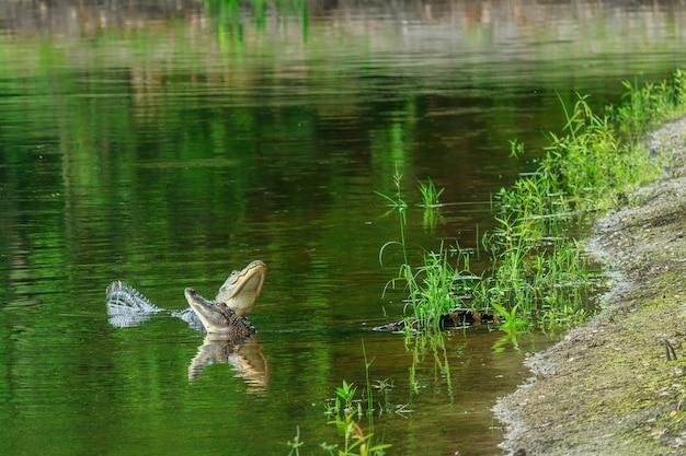 調整池で互いに挑戦するワニ