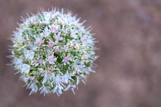 Allium ball-shaped flower on a brown background.