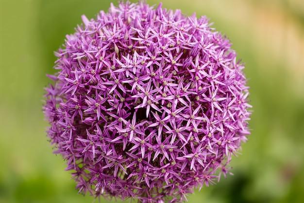Крупный план луковый цветок allium jesdianum