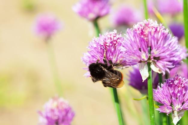 蜂の付いたアリウム植物