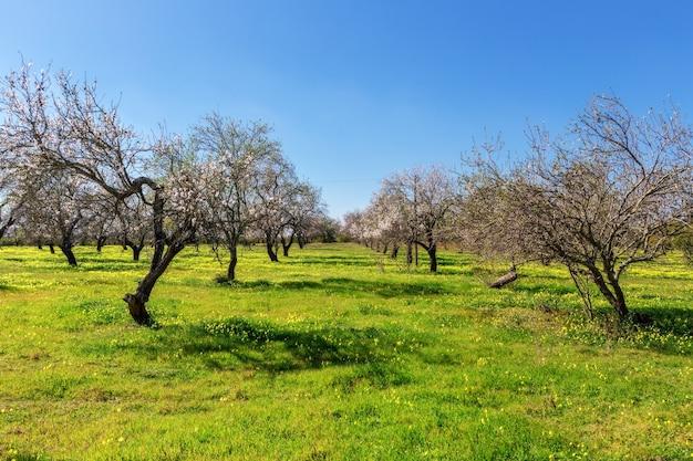 Almond blooming garden in portugal. tavira algarve