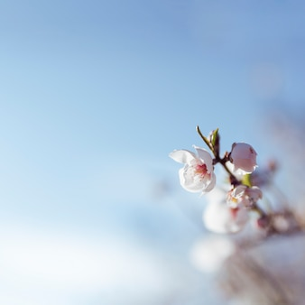 Almond blooming with blue sky
