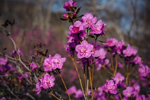 アーモンドの花、桜、クローズアップ、ぼやけた背景。日光の下で春のピンクの花。抽象的な花のイメージ。