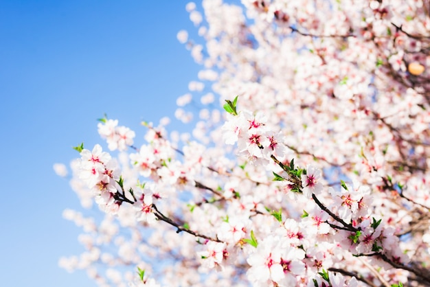 Almond blossom in spring