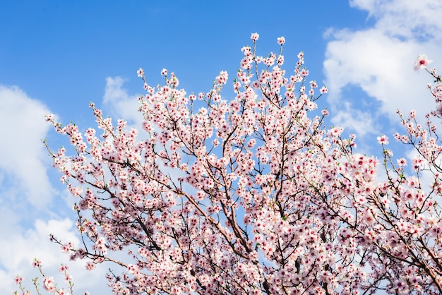 Almond blossoms against a blue sky