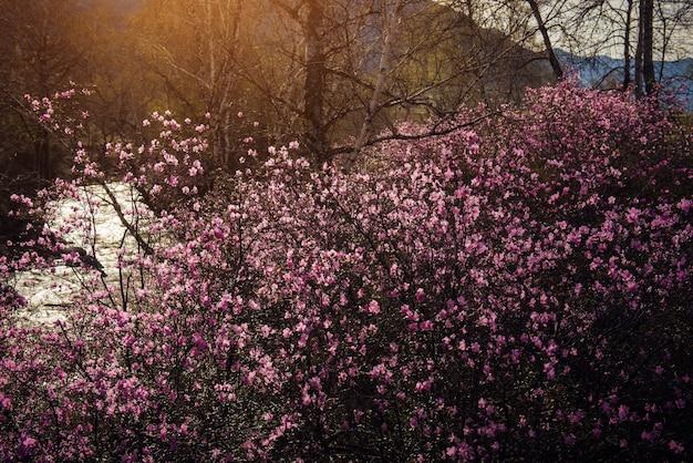 昇る太陽の柔らかな光の中で、繊細なピンクの花で覆われたアーモンドの茂み。アルタイ山脈で開花する春のシャクナゲ。美しい自然の背景。
