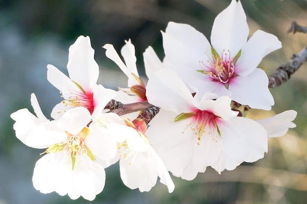 Весной в испании цветут цветы миндаля.