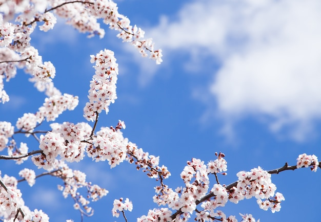 Almond flowers on its branches detail with a blue and sunny sky
