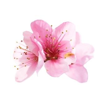 白い背景で隔離のアーモンドピンクの花。マクロ、クローズアップショット