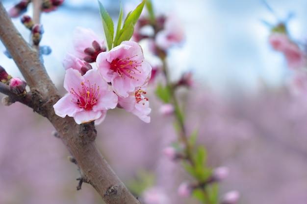 Almond spring flowers on tree branch in mediterranean field