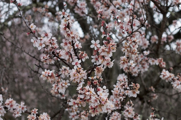 Almond tree bloom