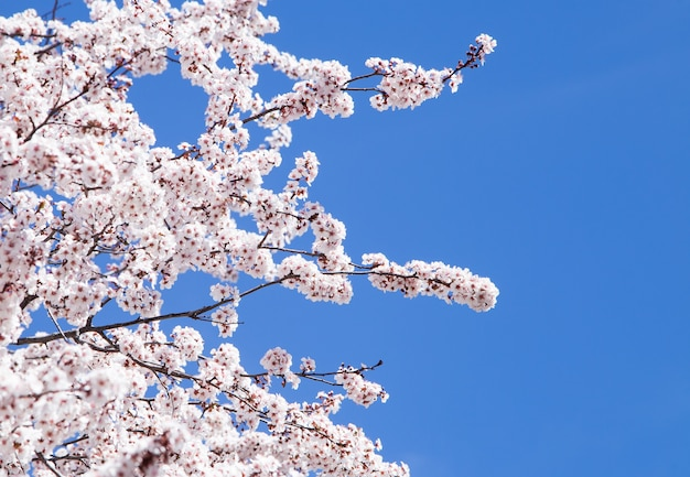Almond tree blooming in spring with blue sky background